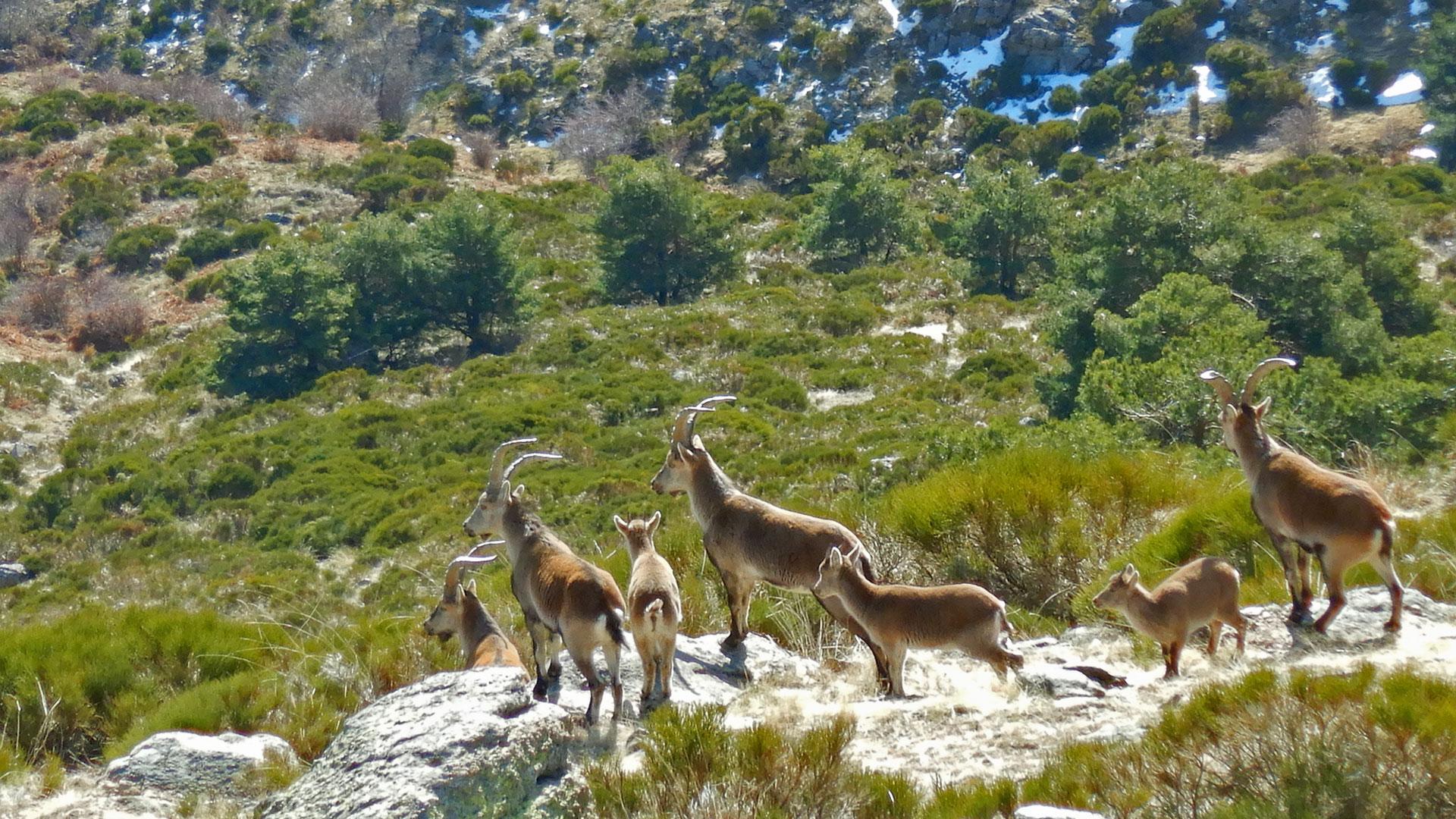 Miraflores de la Sierra - Morcuera - Perdiguera
